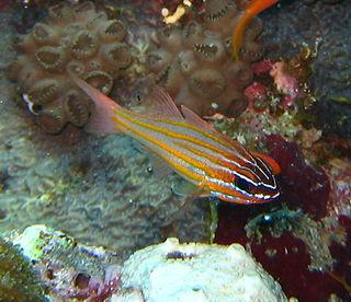 <i>Ostorhinchus cyanosoma</i> species of fish