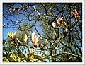 April Magnolia grandiflora Freiburg Botanischer Garten - Master Botany Photography 2013 - panoramio (14).jpg