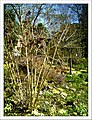 April Magnolia grandiflora Freiburg Botanischer Garten - Master Botany Photography 2013 - panoramio (9).jpg