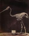 Apterix australis. 1857.png