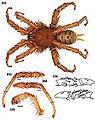 Aptostichus sierra 01.jpg