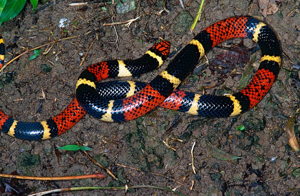 Aquatic Coral Snake Wikipedia