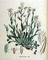 Arabis alpina — Flora Batava — Volume v18.jpg