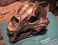 Arctodus simus skull Cleveland.jpg