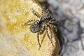 Arctosa maculata - Steiermark.jpg