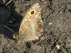 Arethusana arethusa2.jpg