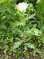 Argemone platyceras 'Link&Otto' (Papaveraceae) plant.JPG