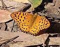 Argynnis hyperbius hybrida -Nilgiri Fritillary.jpg