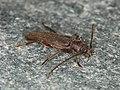 Arhopalus rusticus (43133670541).jpg