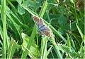 Aricia agestis - Brandenburg.jpg