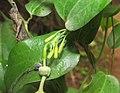 Aristolochia indica 07.jpg