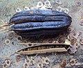 Aristolochia ringens 11.JPG