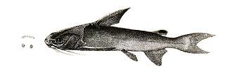 Threadfin sea catfish species of fish