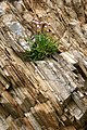 Armeria maritima and Metasediments at Skaw in Shetland.jpg