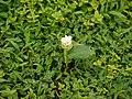 Arrowroot Lily (4941821426).jpg