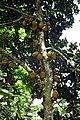 Artocarpus heterophyllus à São Tomé (2).jpg