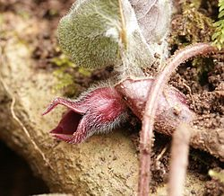 European Wild Ginger (Asarum europaeum) - flower