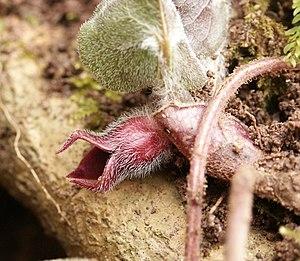 Asarum - Asarum europaeum flower