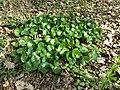 Asarum europaeum subsp. europaeum sl13.jpg