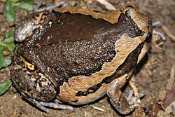 Asiatic Painted Frog (Kaloula pulchra) 花狹口蛙11.jpg