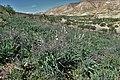 Asphodelus ramosus kz06.jpg