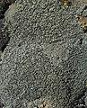 Aspicilia knudsenii - Flickr - pellaea (1).jpg