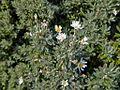 Asteraceae sp.-CTJ-IMG 7223.jpg