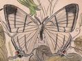 Asthenidia podaliriaria.png