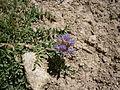 Astragalus leontinus 02.jpg
