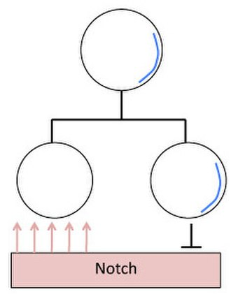 Asymmetric cell division - Numb (blue) is asymmetrically distributed within the neuroblast. Following cell division, the GMC contains the Numb protein which suppresses Notch signaling. The other daughter cell is receptive to Notch signaling, causing distinct cellular responses, and ultimately two distinct cell fates between the daughter cells.