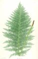 Athyrium filix-femina Moore30.png