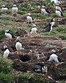 Atlantic Puffins (Fratercula arctica) - Elliston, Newfoundland 2019-08-13 (03).jpg