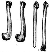 A sketch of four bones of the Great Auk, all long. The first two on the left are shorter and hook and fatten at the end, while the third is straight. The fourth has a nub on both ends.