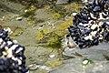 Aulactinia verrucosa-Anémone gemme- 3980.jpg