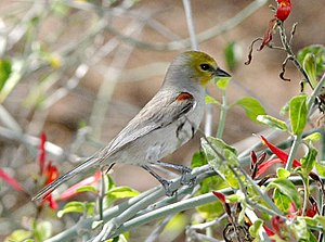 Verdin Auriparus_flaviceps. Location: Scottsda...