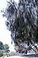 Australian pine tree Shoreline Park Mountain View California IMG 2909.jpg