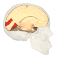 BA18 - Secondary visual cortex (V2) - medial view.png