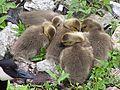 Baby Geese 01.jpg