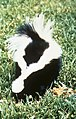 Back of striped skunk mephitis mephitis.jpg