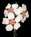 Baeckea sp. Dudawa - Flickr - Kevin Thiele.jpg