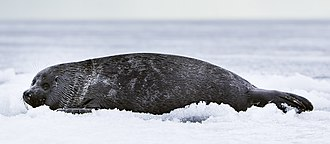 Baikal seal - A young seal
