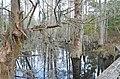 Bald Cypress Trail First Landing State Park-boardwalk-spanish moss (32364278204).jpg