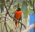 Baltimore Oriole. Icterus galbula - Flickr - gailhampshire (3).jpg