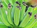 Bananas (3232148052).jpg