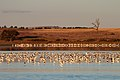 Banded Stilts and Red-necked Avocets (25568304025).jpg