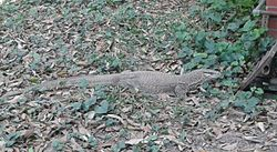 Bangladeshi Iguana local, Narshingdi.jpg