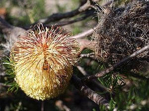 A yellow flowerhead next to an old grey cone