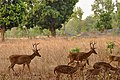 Barasingha and chital.JPG