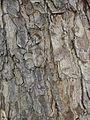Bark of Albizia saman.jpg