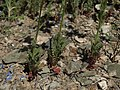 Basal leaves of showy gilia, Gilia cana subsp. triceps (44063602421).jpg